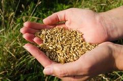 A mulher entrega a colheita o outono maduro do cereal do trigo imagem de stock