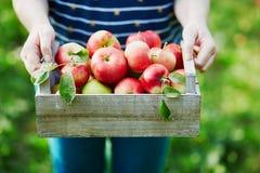 A mulher entrega guardar uma caixa com as maçãs maduras frescas na exploração agrícola Imagens de Stock Royalty Free