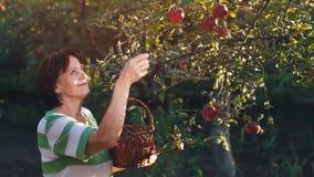 A mulher escolhe maçãs em uma cesta vídeos de arquivo