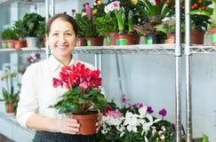 A mulher escolhe a planta do cíclame no florista Imagem de Stock