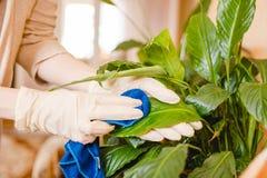 A mulher espana uma flor Limpando na casa, pureza na casa Cuidado das flores Fotos de Stock