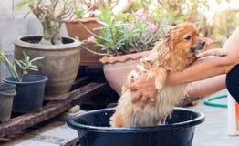 A mulher está banhando o cão para o cão pomeranian, cão pequeno bonito Imagem de Stock Royalty Free