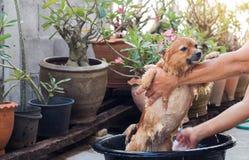 A mulher está banhando o cão para o cão pomeranian, cão pequeno bonito Imagens de Stock