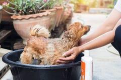 A mulher está banhando o cão para o cão pomeranian, cão pequeno bonito Foto de Stock Royalty Free