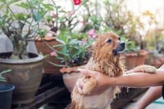 A mulher está banhando o cão para o cão pomeranian, cão pequeno bonito Fotografia de Stock Royalty Free