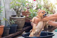 A mulher está banhando o cão para o cão pomeranian, cão pequeno bonito Imagens de Stock Royalty Free