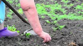 A mulher está removendo ervas daninhas do aneto no jardim vídeos de arquivo