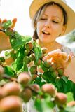 A mulher está verificando amadurecendo abricós no ramo de árvore durante o tempo de mola fotografia de stock royalty free