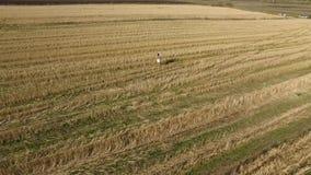 Mulher feliz nova no campo footage Mulher com os braços estendido em um campo de trigo Menina da beleza que aprecia fora a nature vídeos de arquivo
