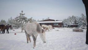 Mulher loura nova que joga com o cavalo dappled branco bonito no rancho do inverno A senhora convida o animal segue-a, cavalo vídeos de arquivo