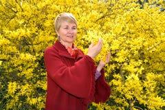 A mulher madura admira cores amarelas de um forzition fotografia de stock