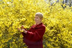 A mulher madura olha flores amarelas de um forsaytiya imagem de stock royalty free