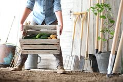 Mulher no jardim vegetal que guarda a caixa de madeira com vegetal da exploração agrícola imagens de stock