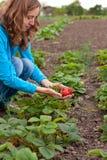 Mulher nova na colheita das morangos Fotos de Stock