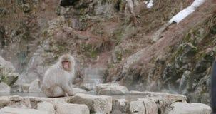 A mulher olhar um estiramento do macaco da neve para fora seu braço quando ao lado do onsen video estoque