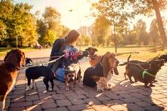 Mulher profissional que anda um grupo de cães e que aprecia fora foto de stock
