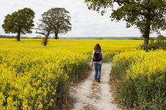 Mulher que anda através de um campo amarelo do rapeseed Imagem de Stock