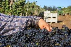 Mulher que classifica o escaninho da uva Foto de Stock
