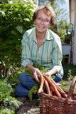 Mulher que colhe cenouras Foto de Stock Royalty Free