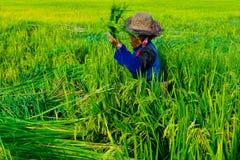 Mulher que colhe o arroz Fotografia de Stock Royalty Free