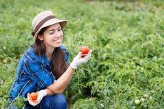 Mulher que colhe tomates no campo Foto de Stock Royalty Free