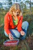 Mulher que escolhe airelas orgânicas selvagens Fotografia de Stock