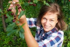 Mulher que escolhe a cereja vermelha da árvore Imagens de Stock Royalty Free