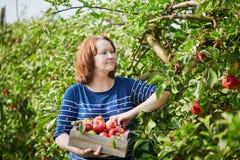 Mulher que escolhe maçãs orgânicas maduras na caixa de madeira Imagens de Stock