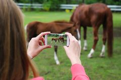Mulher que guarda o smartphone e que toma a imagem dos cavalos fotografia de stock