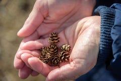 Mulher que guarda pinecones minúsculos nas mãos foto de stock royalty free