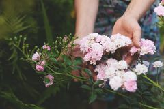A mulher que guarda um rosa bonito aumentou flor em suas mãos que sentam-se no jardim de florescência do verão imagem de stock royalty free