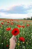 Mulher que guarda uma flor da papoila no campo de papoilas vermelhas imagens de stock royalty free