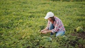Mulher que inspeciona a colheita da melancia no campo video estoque