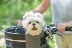 Mulher que monta uma bicicleta com seu cão Fotografia de Stock