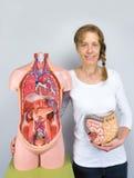 Mulher que mostram o modelo dos intestinos e corpo humano fotografia de stock