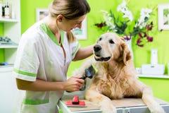 Mulher que obtém o cuidado da pele do golden retriever na sala de estar do cão Fotos de Stock Royalty Free