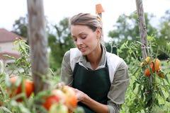 Mulher que pegara tomates da horta Imagens de Stock