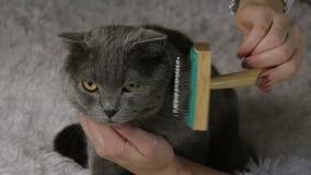 Mulher que penteia o gato britânico no fundo branco Imagens de Stock Royalty Free