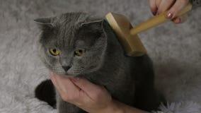 Mulher que penteia o gato britânico no fundo branco Imagem de Stock Royalty Free