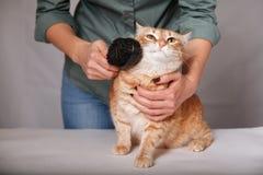 Mulher que penteia um gato listrado vermelho O gato vermelho relaxa ao escovar O conceito dos cuidados dos animais de estimação fotos de stock royalty free