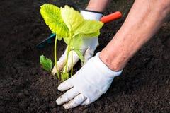Mulher que planta a plântula da morango em um jardim Imagens de Stock Royalty Free