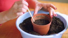 Mulher que planta sementes em um potenciômetro video estoque