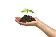 Mulher que prende uma planta crescente em sua mão Fotos de Stock