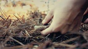 Mulher que recolhe cogumelos comestíveis na floresta no outono Charbonnier ou portentosum sooty do Tricholoma dos cogumelos da ca video estoque