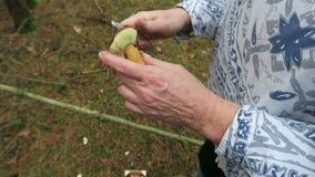 A mulher que recolhe o bolete da baía cresce rapidamente em um corte e em uma limpeza da floresta do pinho os cogumelos vídeos de arquivo