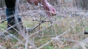 A mulher que recolhe o bolete da baía cresce rapidamente em um corte e em uma limpeza da floresta do pinho os cogumelos filme