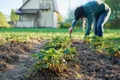 Mulher que remove ervas daninhas das camas da morango no jardim com uma casa de campo no fundo Foto de Stock
