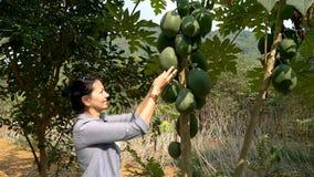 Mulher que toca no fruto verde grande da papaia no jardim vídeos de arquivo