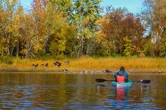 Mulher que toma fotos dos gansos canadenses que descolam para o maki do voo fotografia de stock royalty free