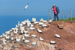 Mulher que toma imagens de albatrozes do norte na ilha alemão Helgolanfd Imagens de Stock